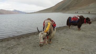 Yaks adorned with colourful seats