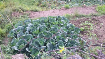Cabbage growing in abundance in the village
