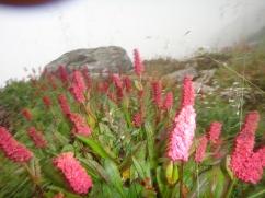 Himalayan fleece Flower