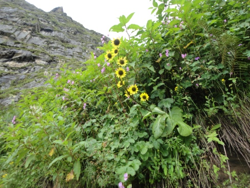 Himalayan daisy