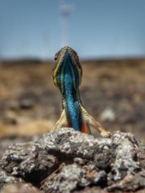 The rare Lizard